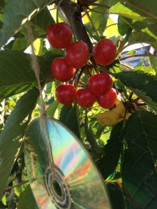 discs hanging in tree to protect bunch of red cherry's from birds